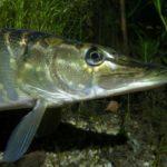 Некоторые виды рыб для зарыбления пруда